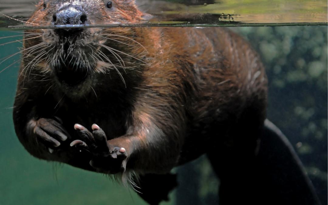 Le castor revient dans le delta de Camargue après 40 ans d'absence