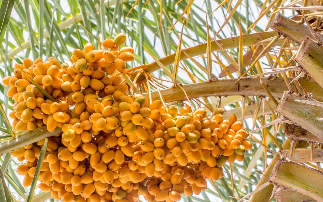 Des palmiers dattiers disparus ressuscités à partir de graines vieilles de 2000 ans